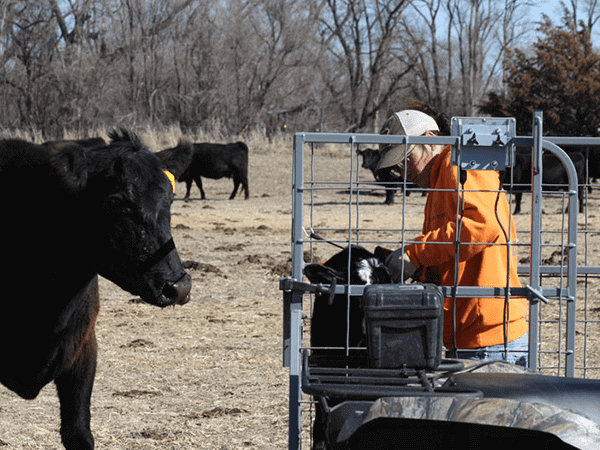 Safety-Zone-Calf-Catcher-2