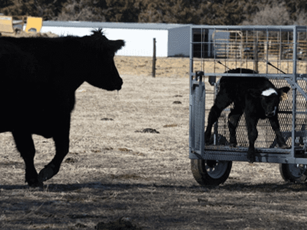 Safety-Zone-Calf-Catcher-3